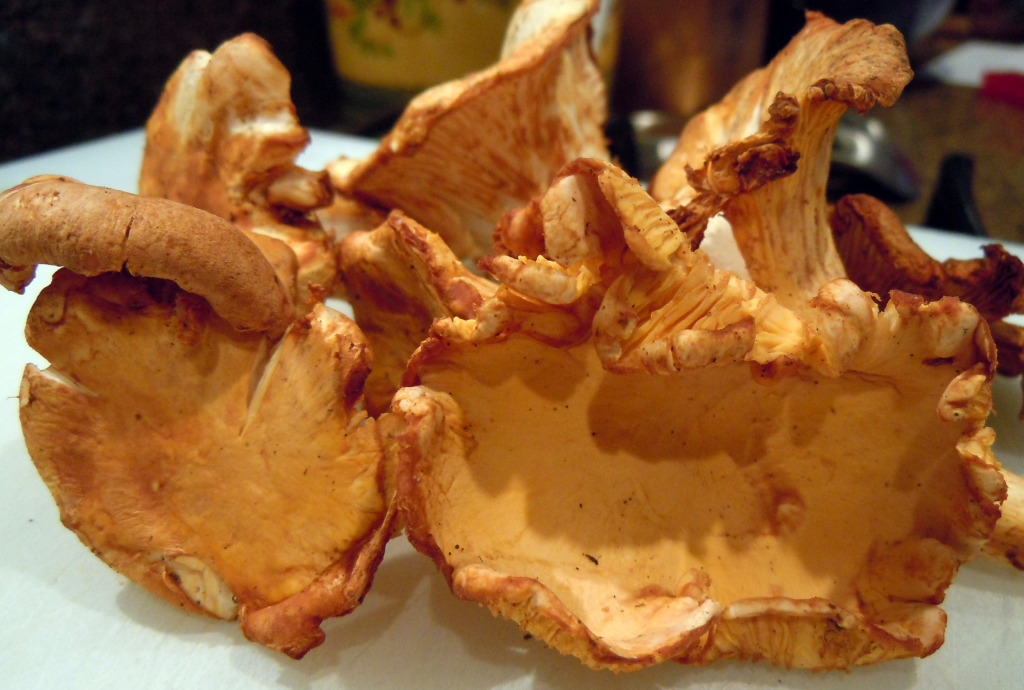 golden chanterelle or girolle chanterelle mushroom